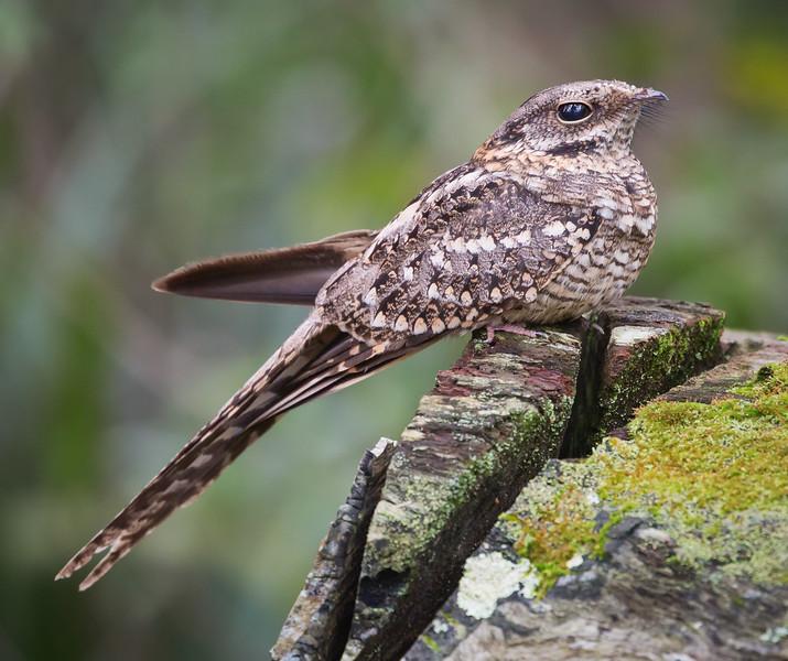 Scissor-tailed Nightjar (Hydropsalis torquata).