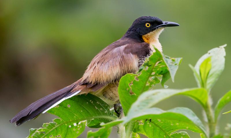 Black-capped Donacobius (Donacobius atricapilla).