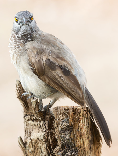 Brown Babbler (Turdoides plebejus).