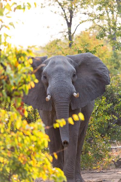 African Bush Elephant (Loxodonta africana).