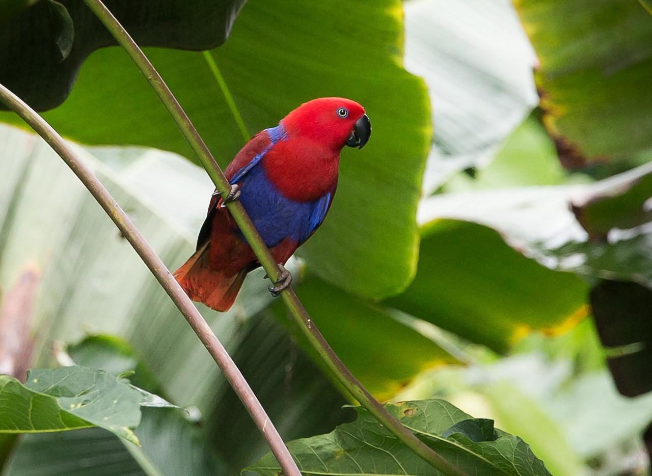 Eclectus Parrot, female (Eclectus roratus).