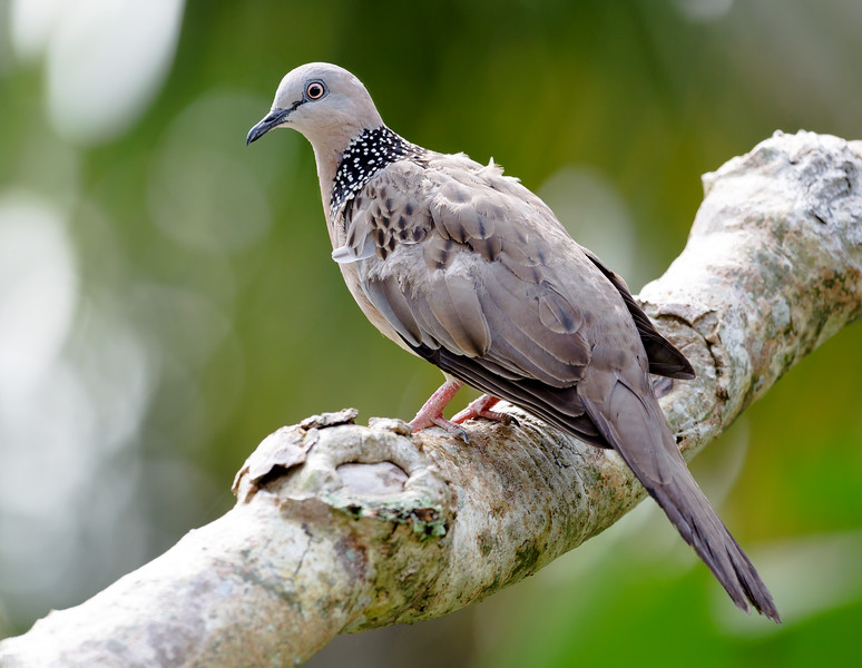Spotted Dove (Spilopelia chinensis).