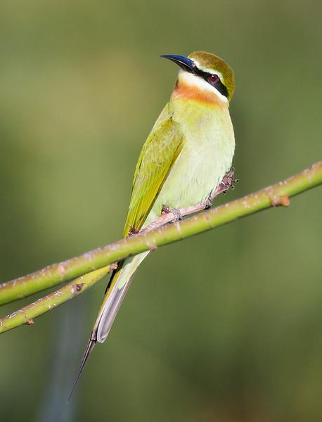 Olive Bee-eater (Merops superciliosus).