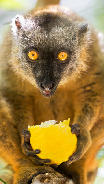 Common Brown Lemur (Eulemur fulvous).