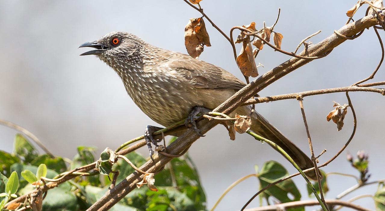 Arrow-marked Babbler (Turdoides jardineii).
