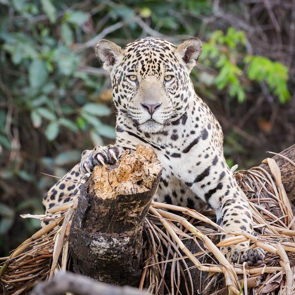 Jaguar (Panthera onca).