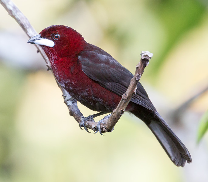 Silver-beaked Tanager, male (Ramphocelus carbo).