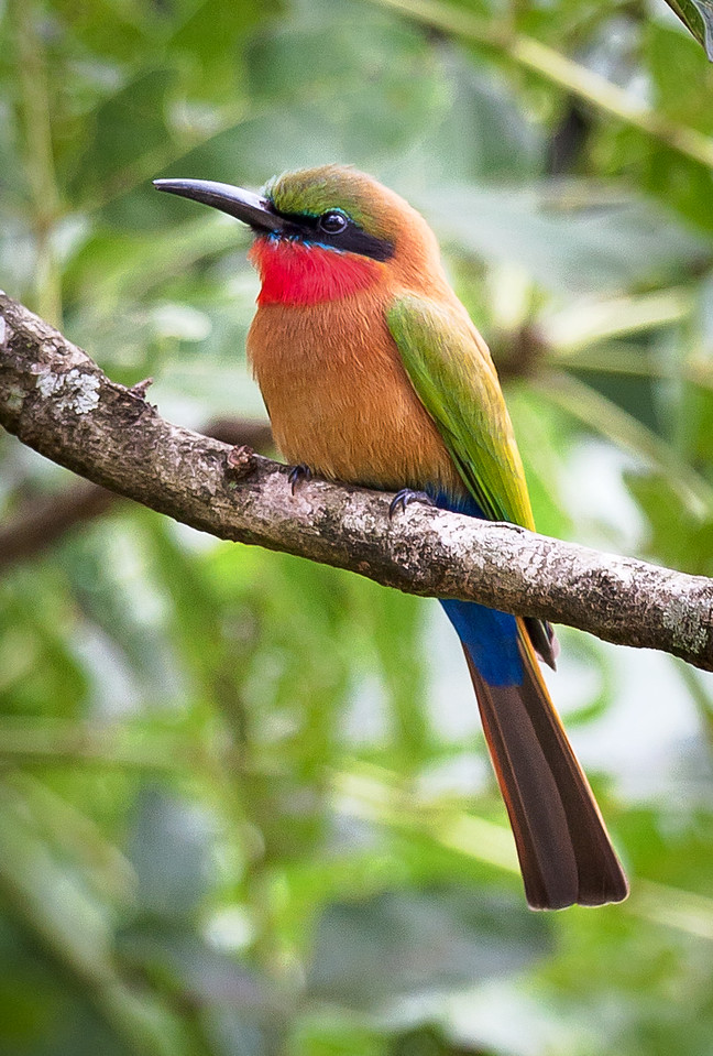 Red-throated Bee-eater (Merops bulocki).