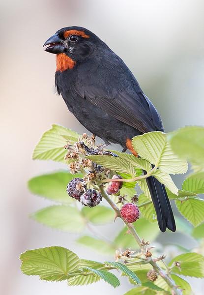 Greater Antillean Bullfinch (Loxigilla violacea).