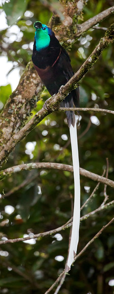 Ribbon-tailed Astrapia, male (Astrapia mayeri).