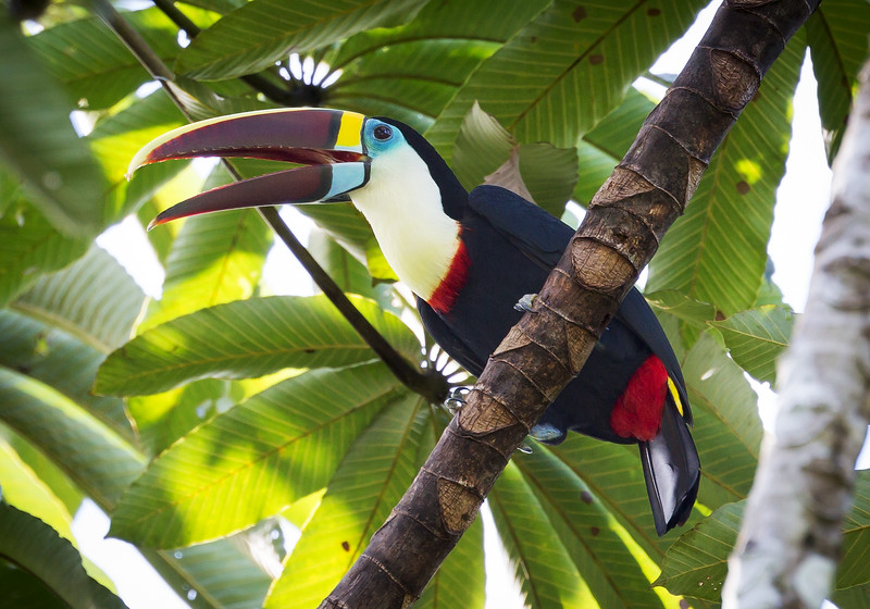 Red-billed Toucan (Ramphastos tucanus).