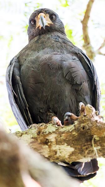 Great Black-Hawk, male (Buteogallus urubitinga).