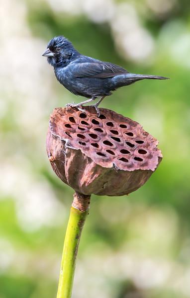 Blue-black Grassquit (Volatinia jacarina).