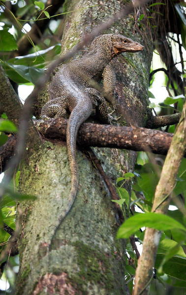 Mangrove Monitor Lizard (Varanus indicus).