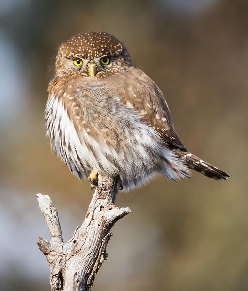 Northern Pygmy Owl (Glaucidium californicum).