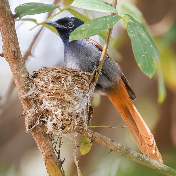 African Paradise Flycatcher, female (Terpsiphone viridis).