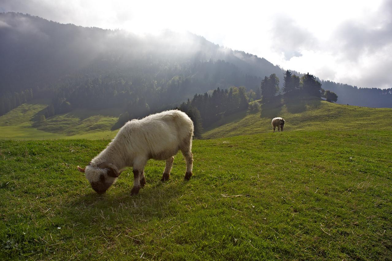 Sunday 17th - Mountain sheep