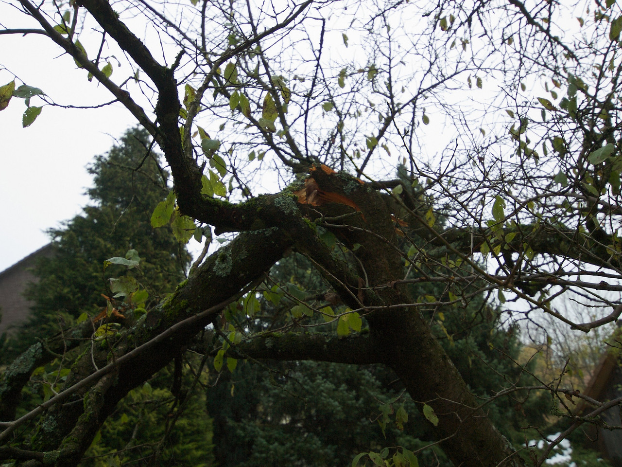 Sunday 2nd Nov 2008 - One of the broken limbs on the plumb tree