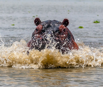 Hippo Surge 244 x 207 300 dpi DONE-1963.jpg