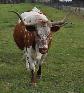 """Texas Longhorns and I mean """"long"""""""