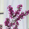 Provo Utah Temple Blossoms