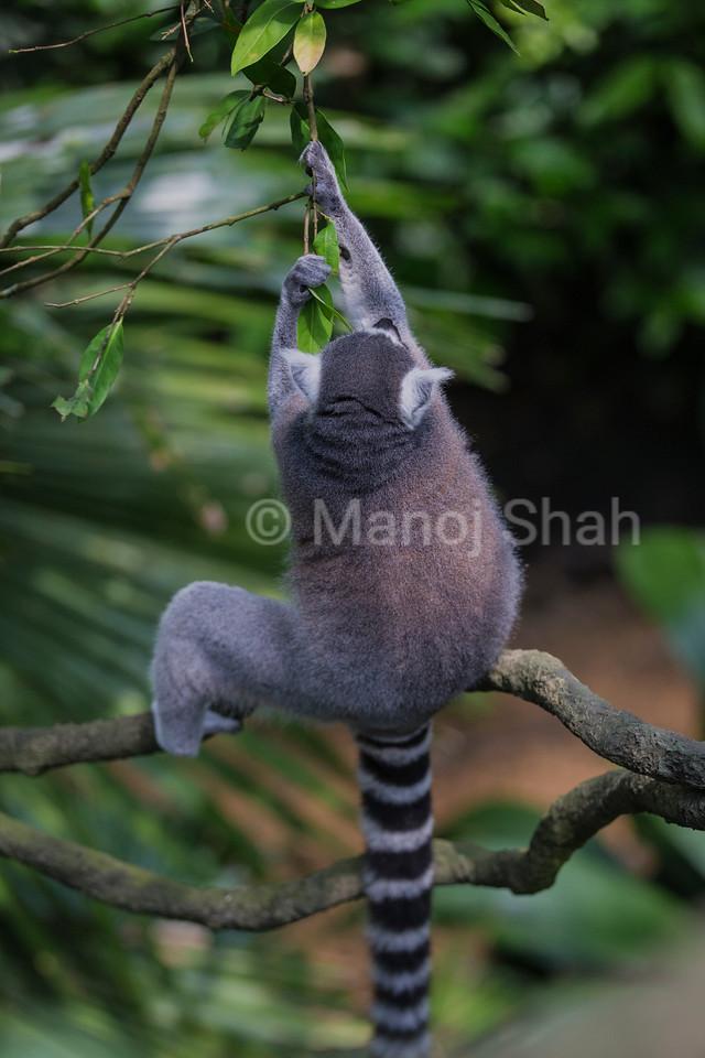 Ring tailed Lemur plucking leaves