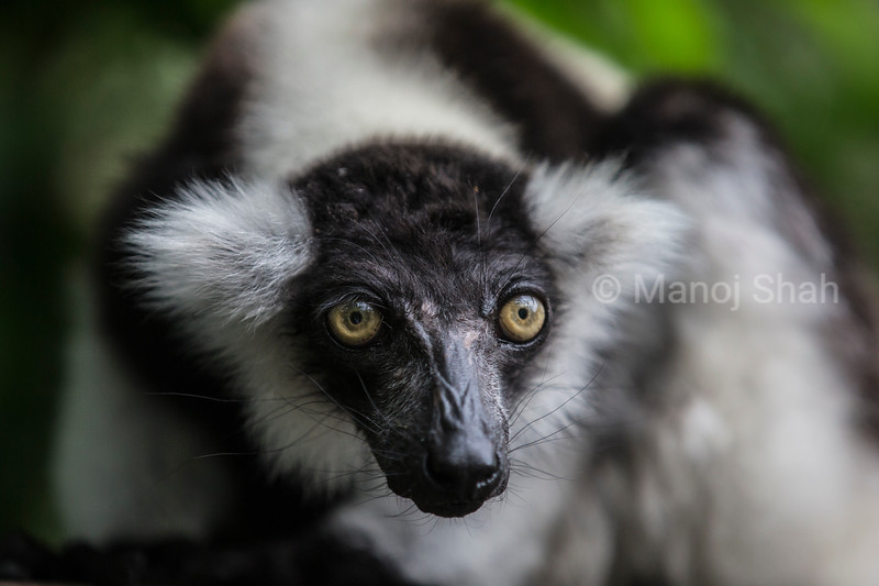 Black-and-white ruffed lemur (Varecia variegata)