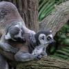 Ring tailed lemurs grooming