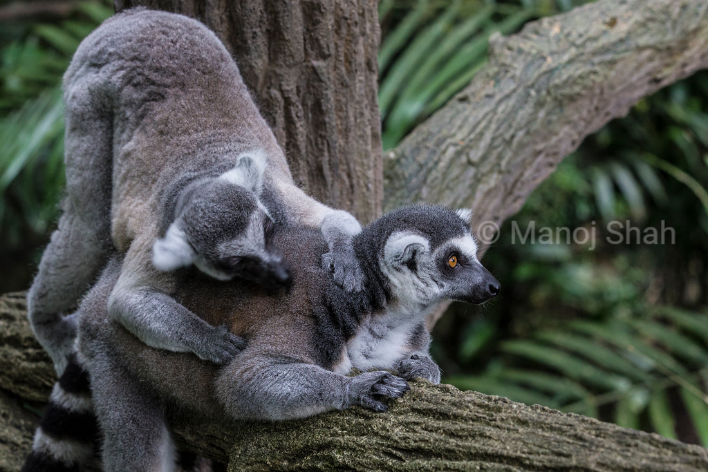 Ring tailed lemurs grooming
