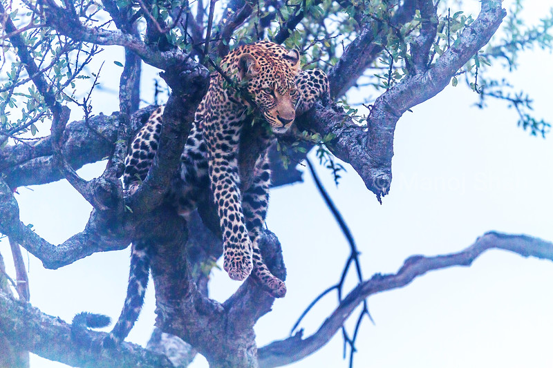 Leopard on a tree resting on a cold and foggy morning in Masai Mara.