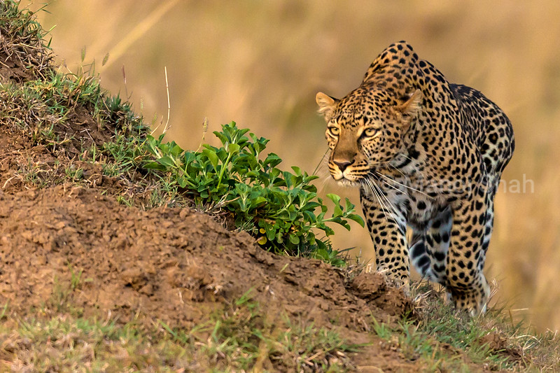 leopard sighting prey