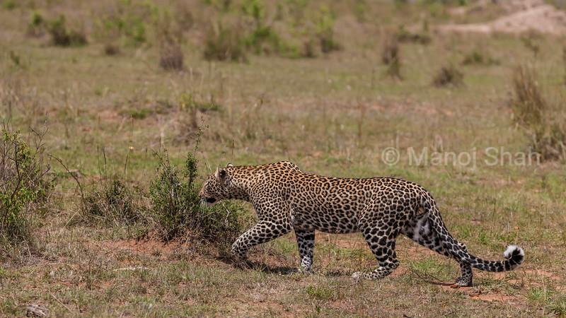 Male leopard on a prowl in the savanna in Masai Mara.