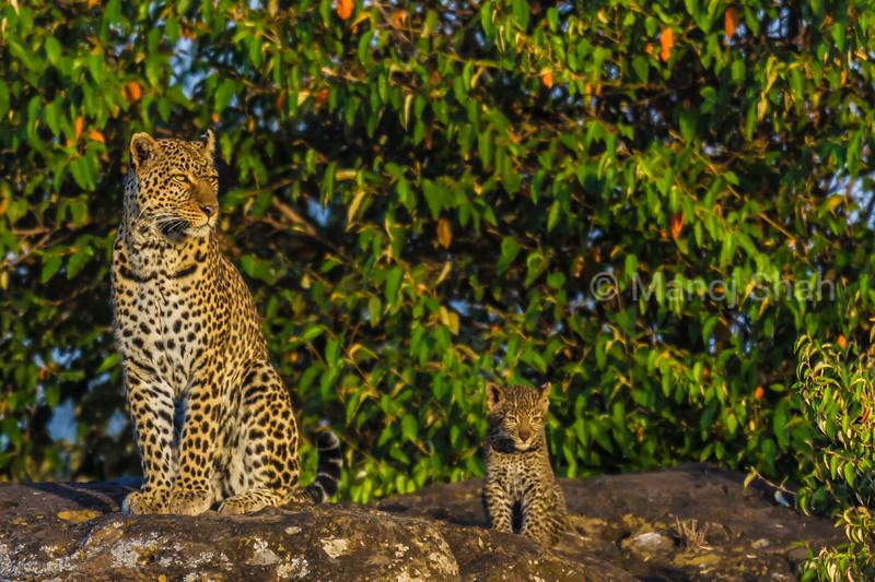Leopard (known as Zawadi) with cub  on a ridge