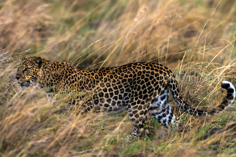 Leopard walking through tall grass