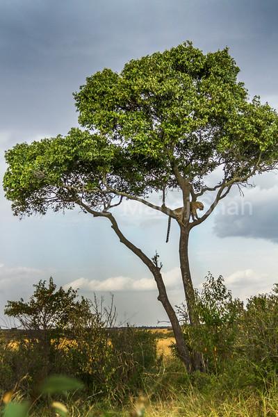 leopard sitting on a tree in Masai Mara.