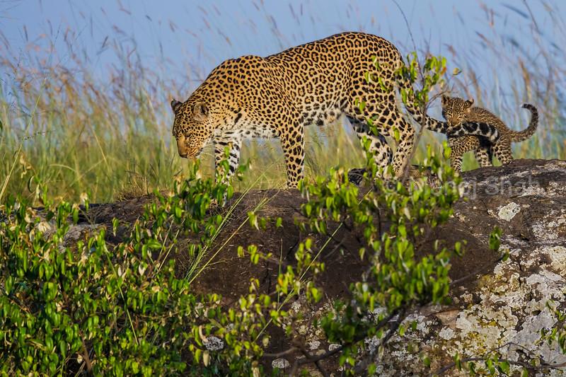 Leopard (known as Zawadi) with cub biting her tail on a ridge in Masai Mara.
