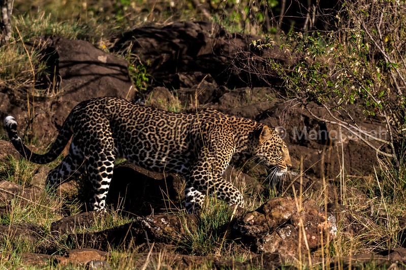 leopard walking
