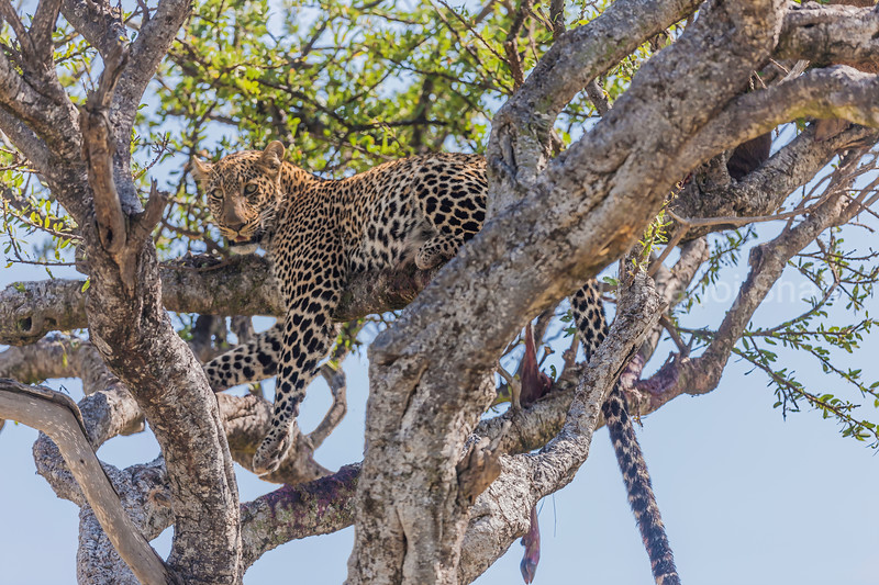 Leopard resting on a tree in Masai Mara.