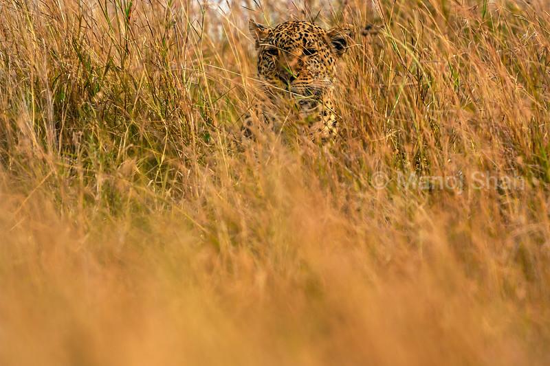 Leopard hiding in the tall grass of Masai Mara.