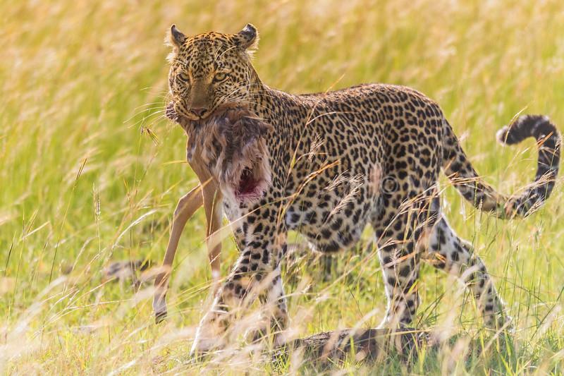 Leopard moving an impala kili.