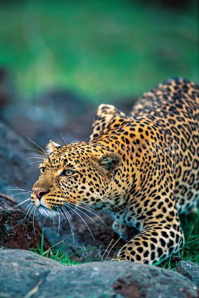 Leopard hunting