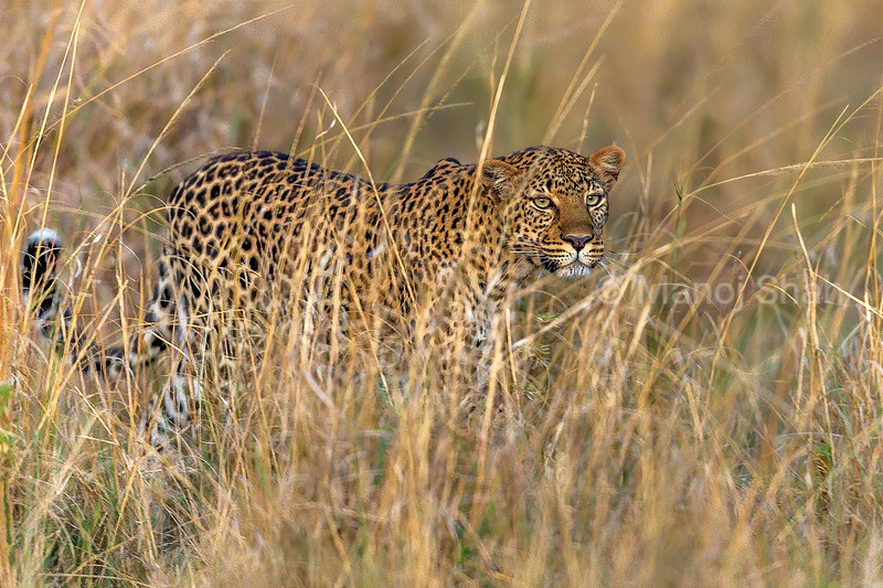 leopard walking through tall grass in Masai Mara