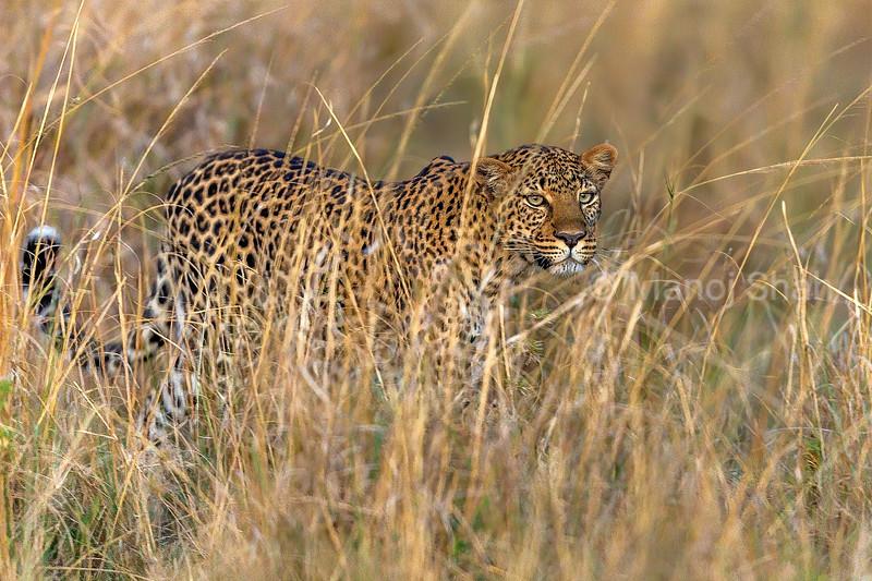 leopard walking through tall grass in Masai Mara