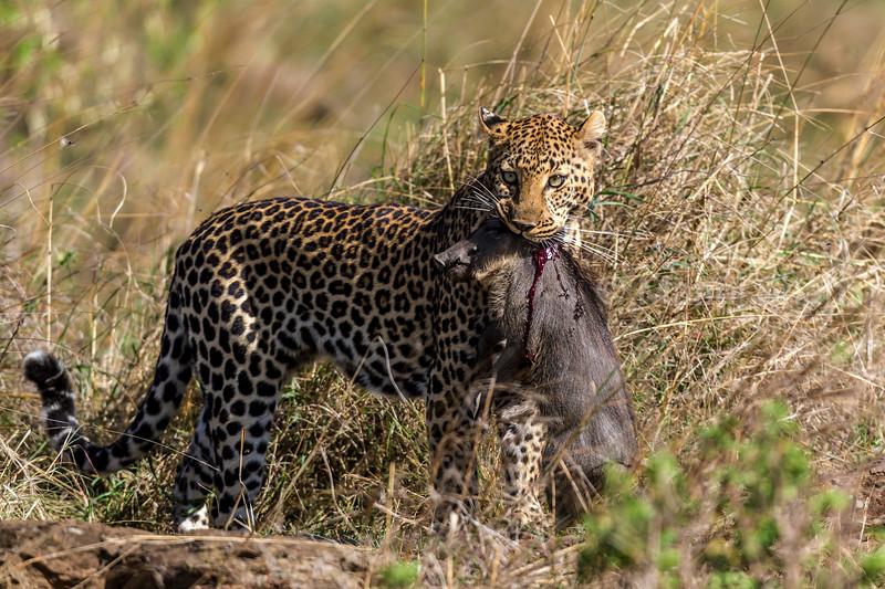 Leopard with warthog piglet