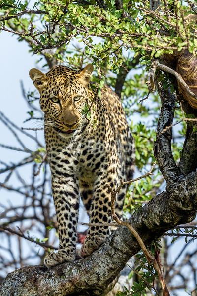 Leopard on a tree on Masai Mara