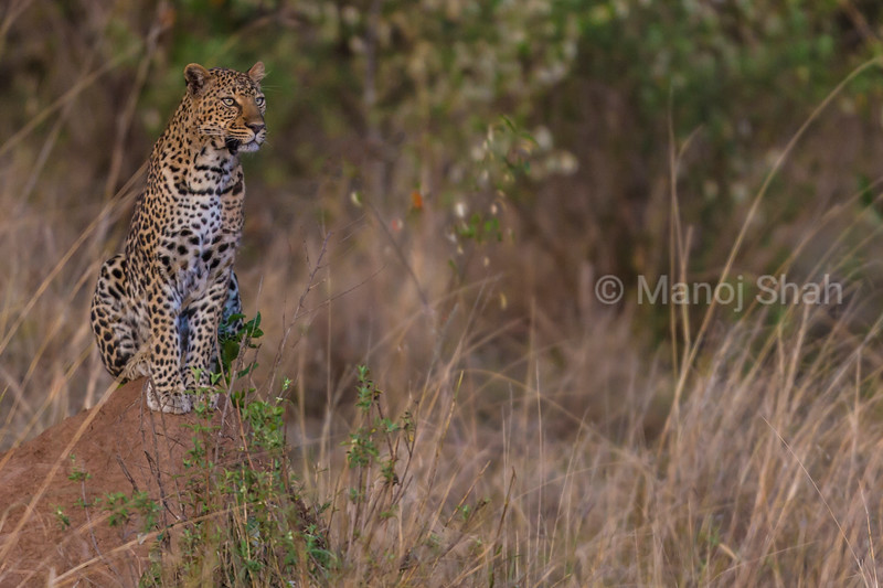 leopard sitting on an anthill