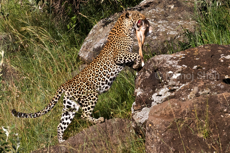 leopard with impala kill