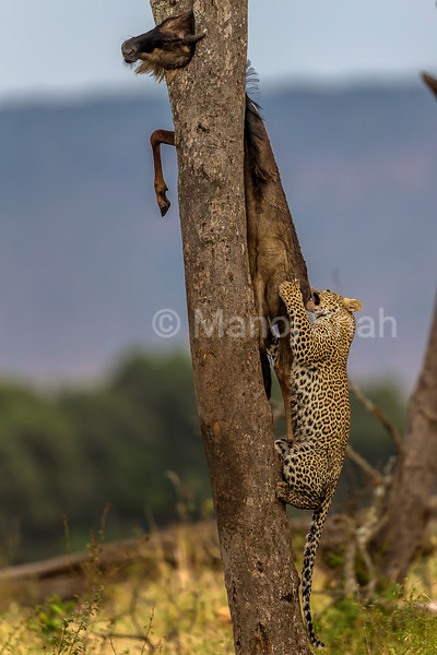 Leopard at a wildebeest kill in Masai Mara.