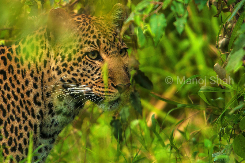 Leopard youngster on a hunt in Masai Mara.