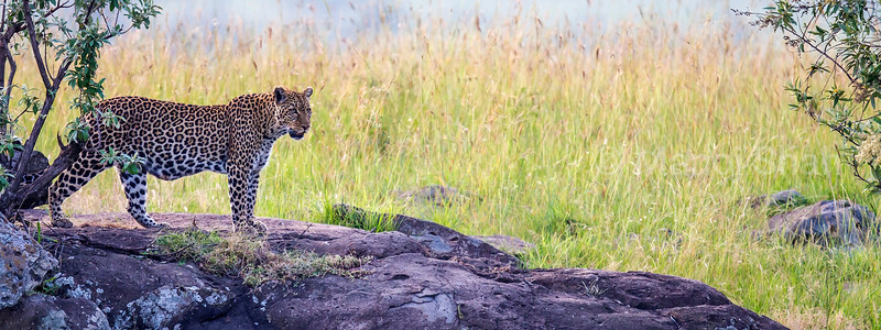Leopard on a prowl in Masai Mara
